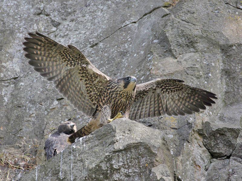 Juvenile wing stretching