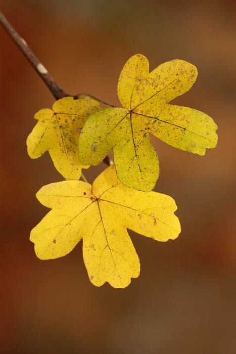 Maple leafs javorjevi listi_MG_1336-1.jpg