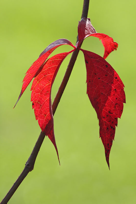 Autumn virginia creeper  Parthenocissus quinquefolia jesenska vinika_MG_6992-11.jpg