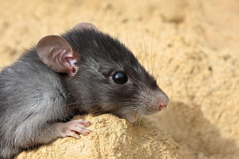 Black rat Rattus rattus èrna podgana_MG_4887-11.jpg