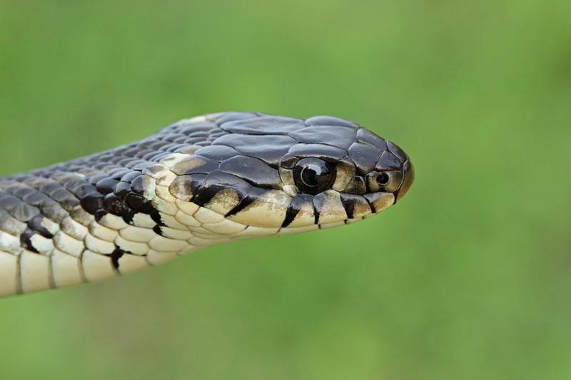 Grass snake Natrix natrix belou¹ka_MG_2556-11.jpg