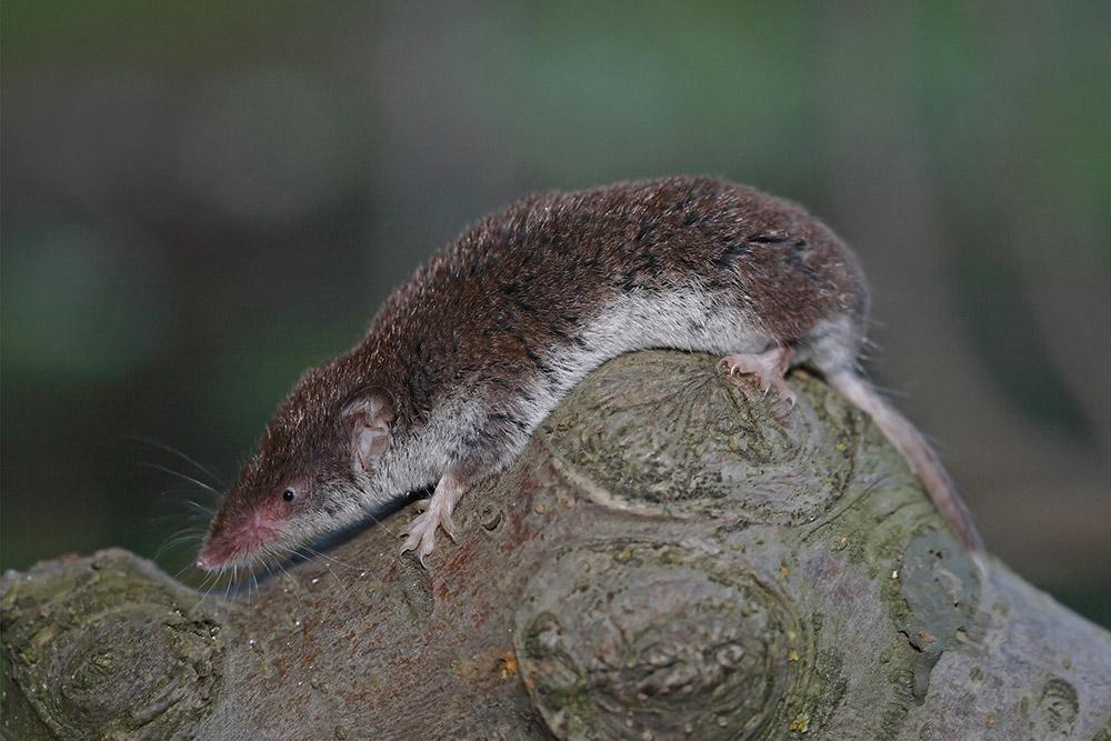 Lesser white-toothed shrew Crocidura suaveolens vrtna rovka _MG_1159-111.jpg