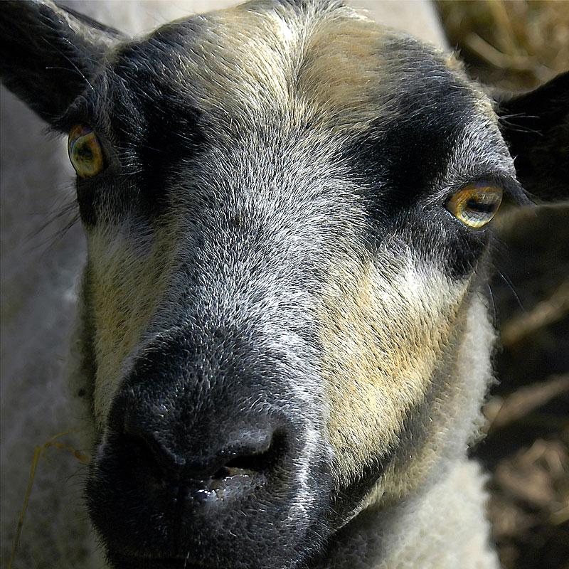 Sheeps face (8275)