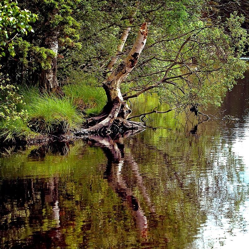 Reflected tree, Loch Garten (1563)
