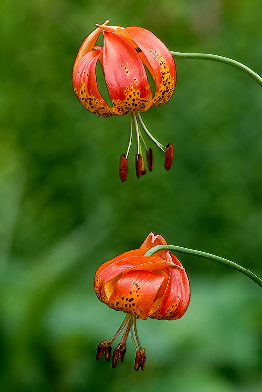 Lantern lilies, Cotehele, Cornwall