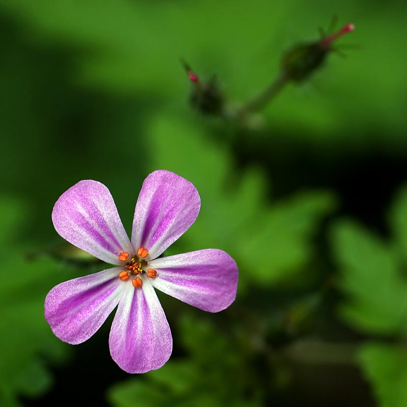 Woodland flower, Wayford