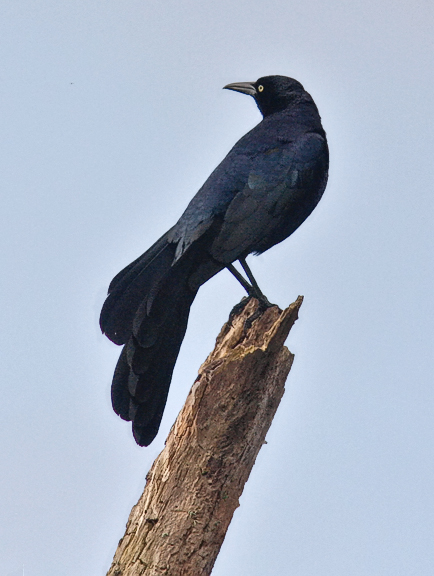 Great-tailed Grackle, male