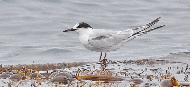 Common Tern, 1st cycle