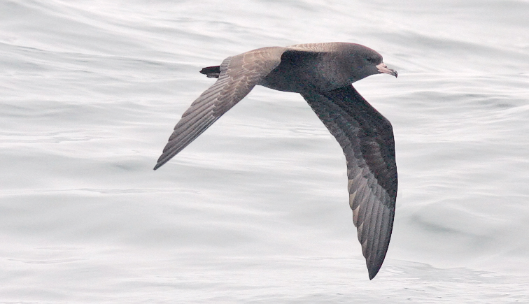 Flesh-footed Shearwater (#1 of 5)