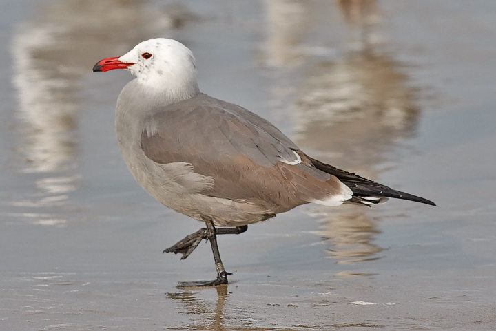 Heermanns Gull banded 3rd cycle