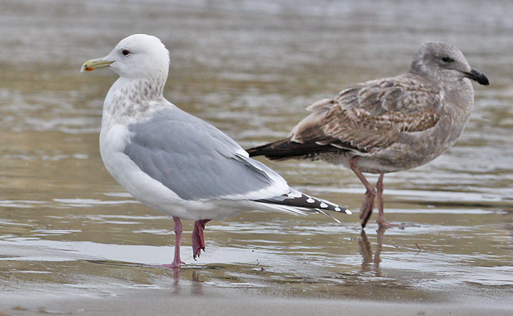 Thayers Iceland Gull, basic adult with 1st cy Western Gull