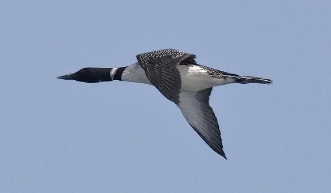 Common Loon, alternate plumage