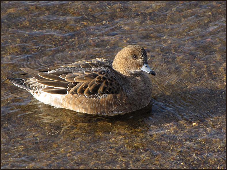 Wigeon, female - Anas penelope - Bläsand.jpg