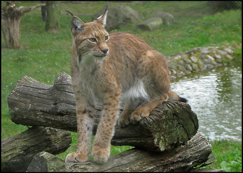 Eurasian Lynx - Lodjur,jpg