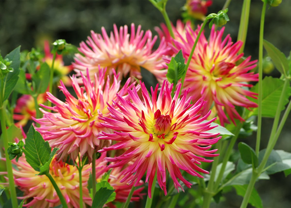 Hot Pink Dahlias at Jardin des Plantes