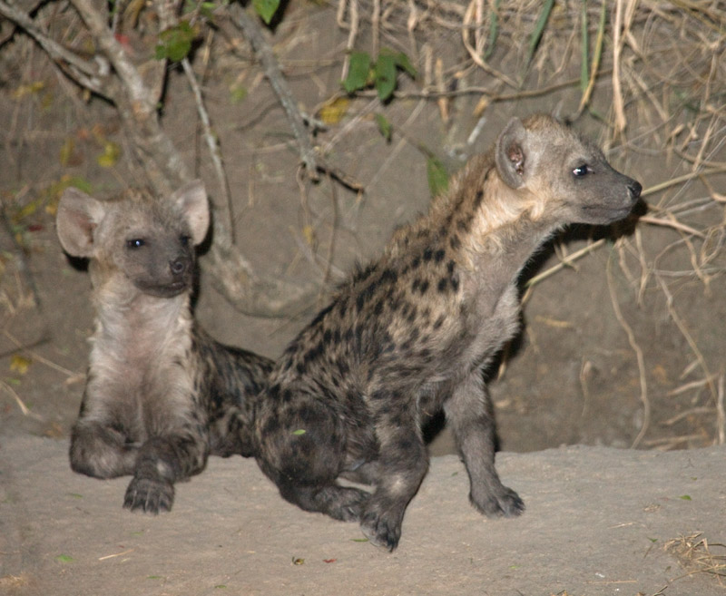 Hyena Den