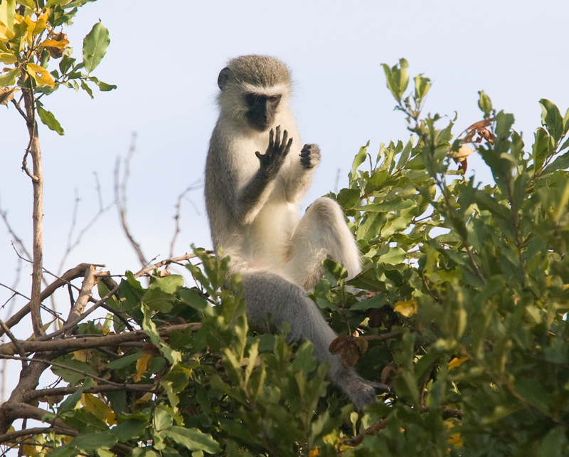 Vervet Monkey at Lion Sighting