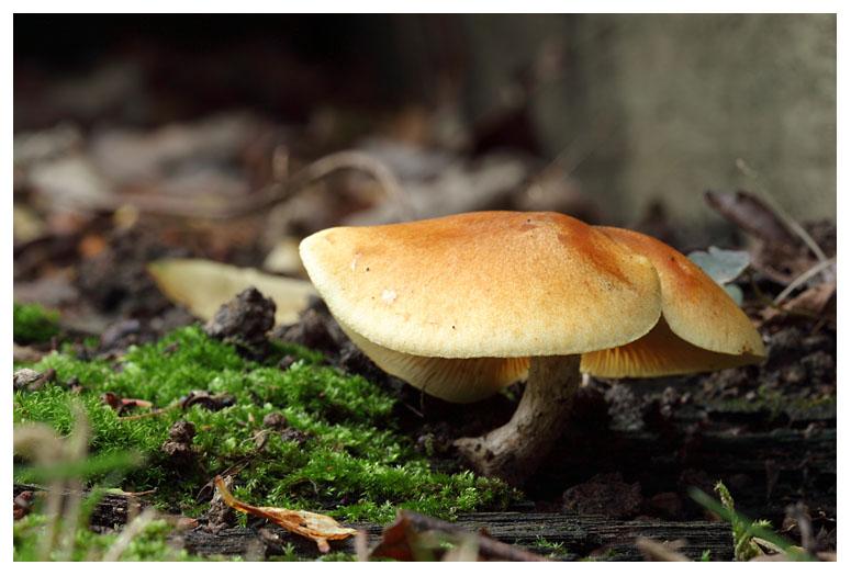 Gymnopilus sapineus