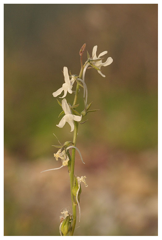Linaria chalapensis
