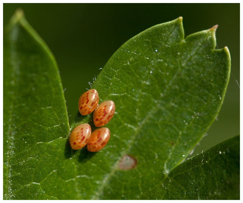 insect (or spider?) eggs