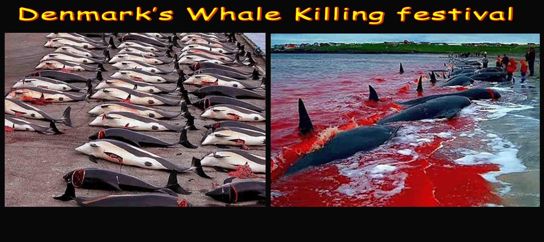 Denmarks Whale Killing Festival !!