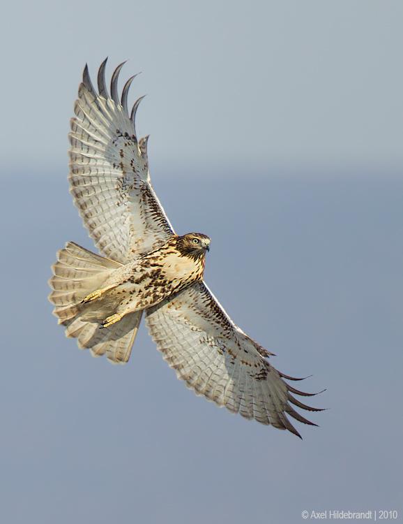 Red-tailedHawk30c9586.jpg