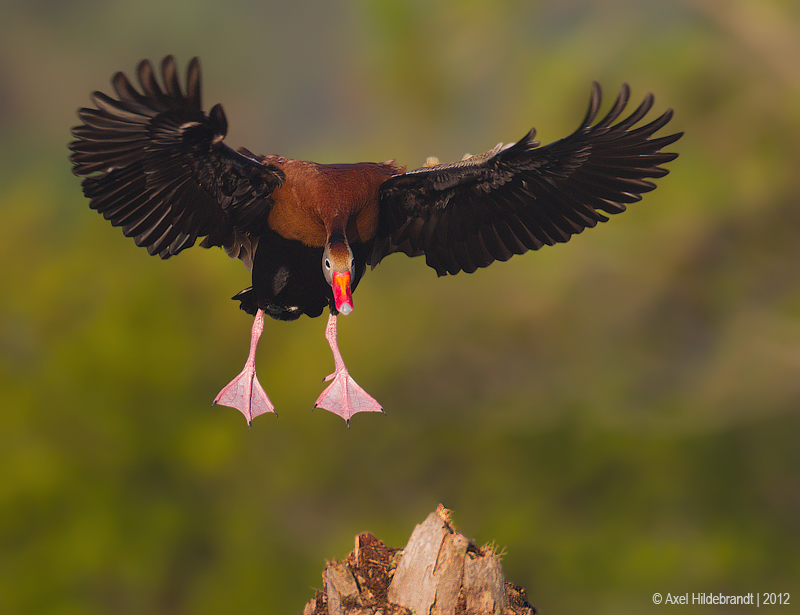 Black-belliedWhistling-Duck13c5703-1.jpg