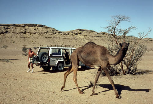 Encounter with a camel, Fossil Valley