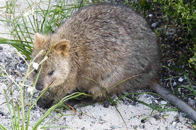 An original inhabitant, the marsupial quokka