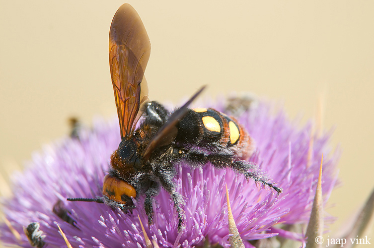 Mammoth Wasp - Oostelijke Dolkwesp - Scolia flavifrons