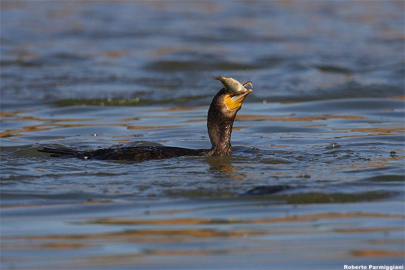 Phalacrocorax carbo (cormorant-cormorano)
