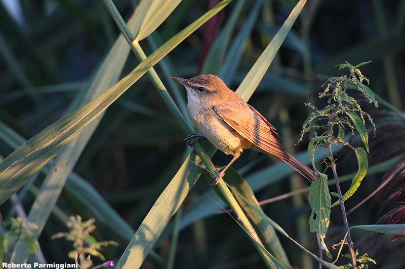 Acrocephalus arundinaceus (great reed warbler -  cannareccione)