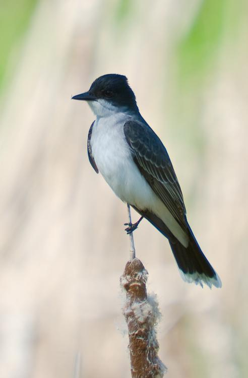 Tyran Tri-Tri - Eastern Kingbird