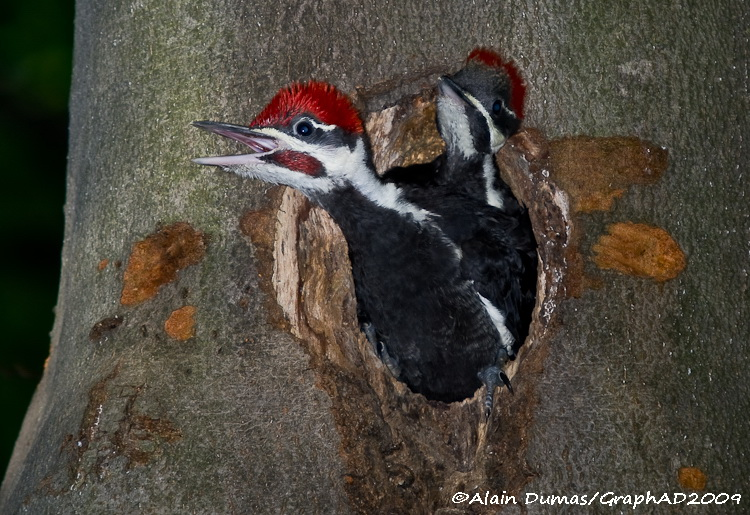 Grand Pic - Juvéniles - Pileated Woodpecker - Juveniles