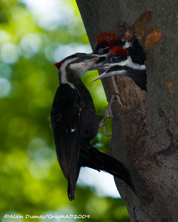 Grand Pic Femelle avec Juvéniles - Female Pileated Woodpecker with Juveniles
