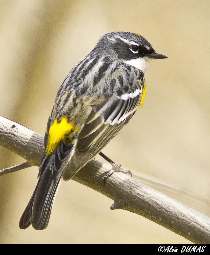 Paruline à Croupion Jaune - Yellow Rumped Warbler