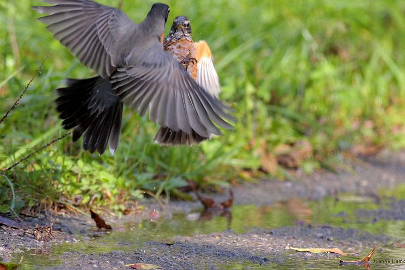 American Robins Fighting