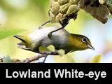 Lowland White-eye