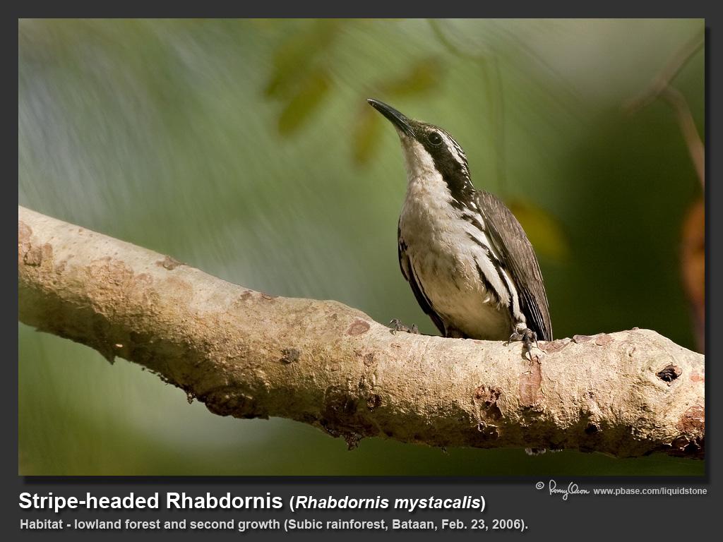 Stripe-headed_Rhabdornis-IMG_0991.jpg