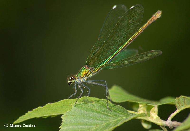 Calopteryx virgo f.
