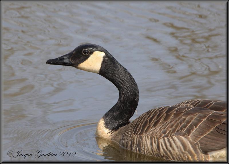 Bernache du Canada ( Canada Goose )