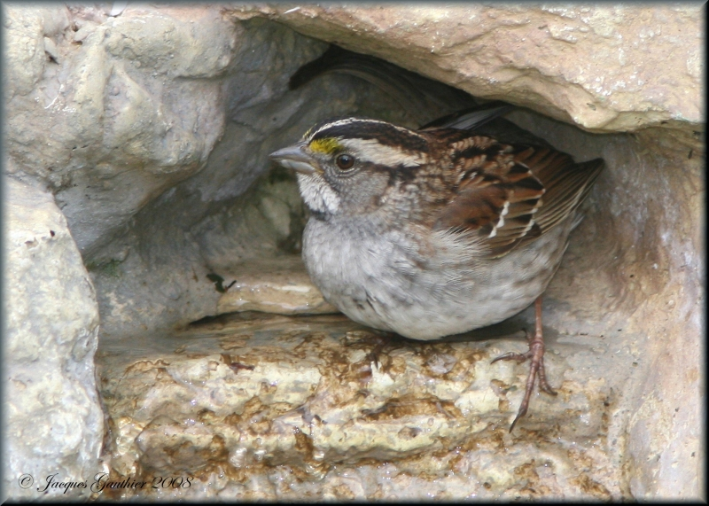 Bruant à gorge blanche ( White-throated Sparrow )