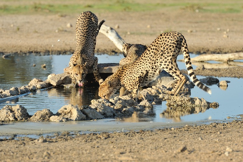 Cheetah 13.jpg