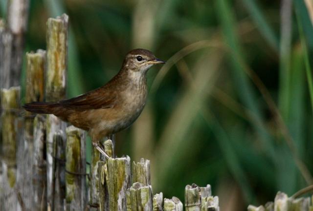 Savis Warbler - Locutella luscinoides - Savisanger - Boscaler comú - Buscarla unicolor