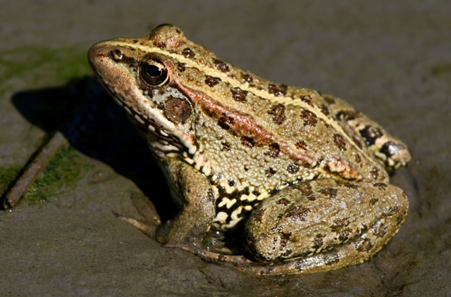 Iberian Green Marsh Frog - Rana perezi - Granota Verda - Rana Comun