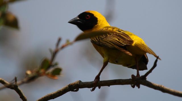 Weaver bird - Tejedor africano