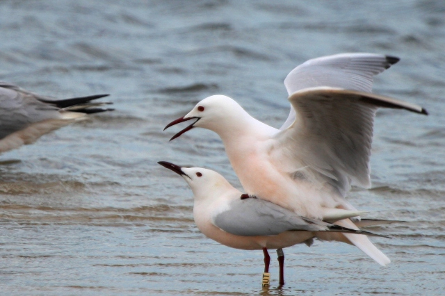 Slender billed Gulls mating - Larus genei - Gaviota picofina - Gavina capblanca