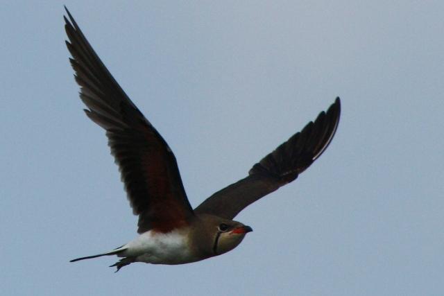 Collared Pratincole in flight showing the red armpits - Glareola pratincola - Canastera - Perdiu de mar vol - Glaereol a Collier