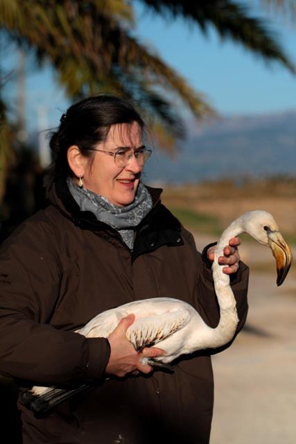 Saving Greater Flamingo - Phoenicopterus ruber roseus - Rescatando a un Flamenco - Salvant un Flamenc