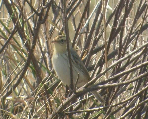 Aquatic Warbler - Acrocephalus paludicola - Carricerín Cejudo - Boscarla dAigua - Vandsanger